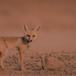 砂漠のキツネ 〜 目には見えない大切なもの