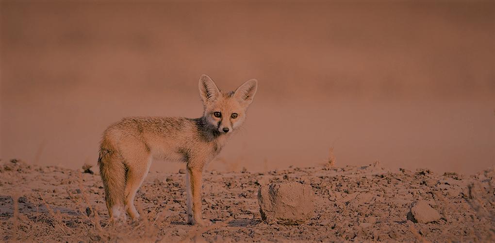 砂漠のキツネ