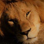 恋するライオン ~ 牙を失ったクリエイター